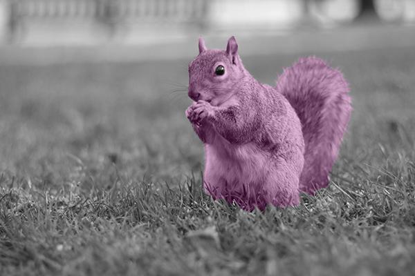 Purple squirrel recruitment